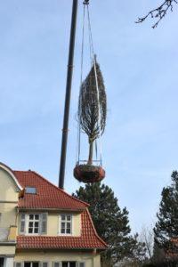 Hainbuchenpflanzung in Göttingen3